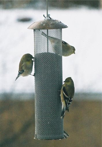 Goldfinches at feeder in winter
