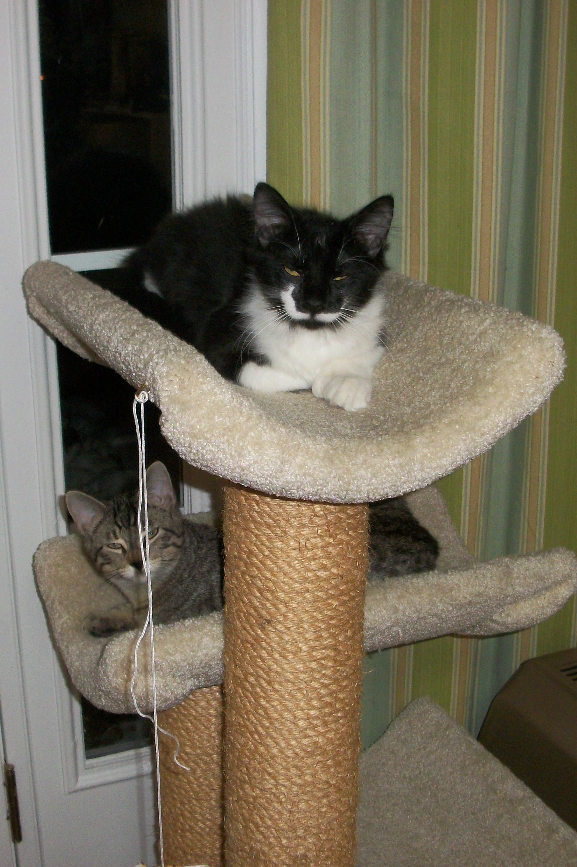 Linus and Charlie on cat tree